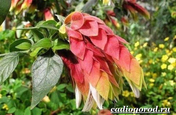 Белопероне цветок. Описание, особенности, виды и уход за белопероне-1