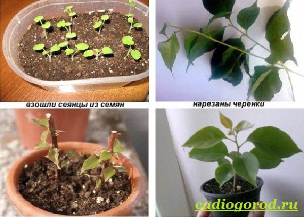 Бугенвиллия-цветок-Описание-особенности-виды-и-уход-за-бугенвиллией-12