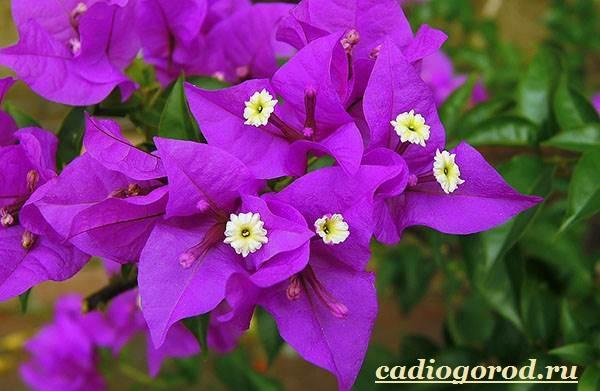 Бугенвиллия-цветок-Описание-особенности-виды-и-уход-за-бугенвиллией-2