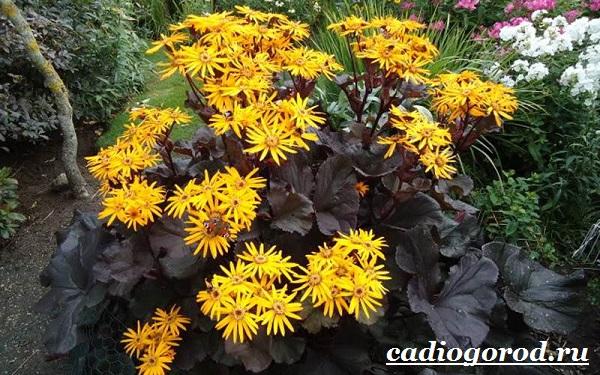 Бузульник-растение-Описание-особенности-виды-и-уход-за-бузульником-6