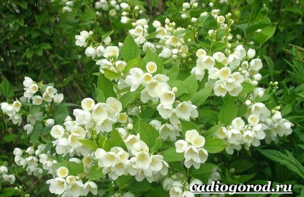 Чубушник-цветок-Описание-особенности-виды-и-уход-за-чубушником-1