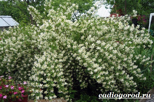 Чубушник-цветок-Описание-особенности-виды-и-уход-за-чубушником-18
