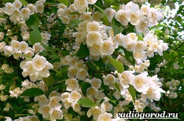 Чубушник-цветок-Описание-особенности-виды-и-уход-за-чубушником-5