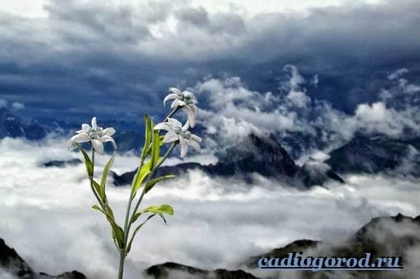Эдельвейс-цветок-Описание-особенности-виды-и-уход-за-эдельвейсом-13