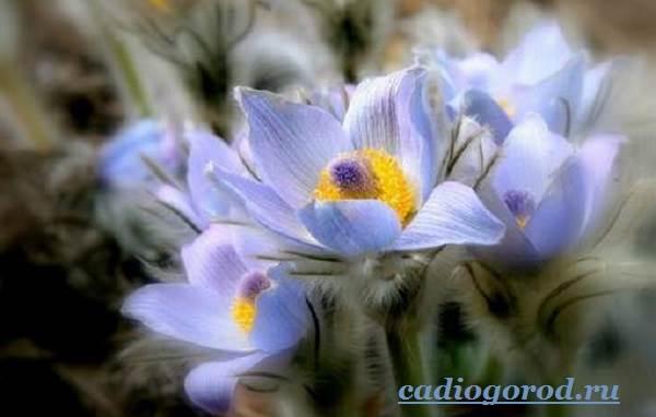 Эдельвейс-цветок-Описание-особенности-виды-и-уход-за-эдельвейсом-9
