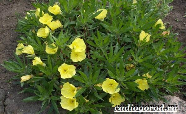 Энотера-цветок-Описание-особенности-виды-и-уход-за-энотерой-8