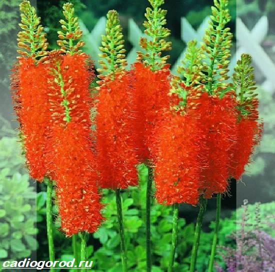 Эремурус-цветок-Выращивание-эремуруса-Уход-за-эремурусом-5