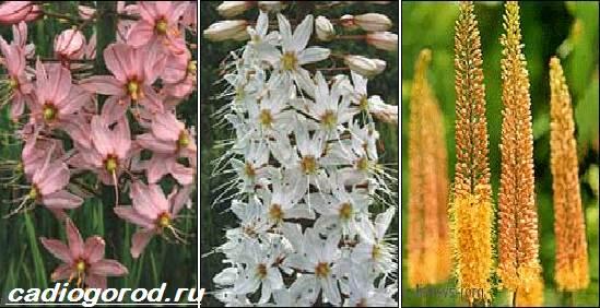 Эремурус-цветок-Выращивание-эремуруса-Уход-за-эремурусом-8