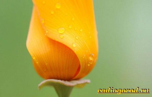 Эшшольция-цветы-Выращивание-эшшольции-Посадка-и-уход-за-эшшольцией-11