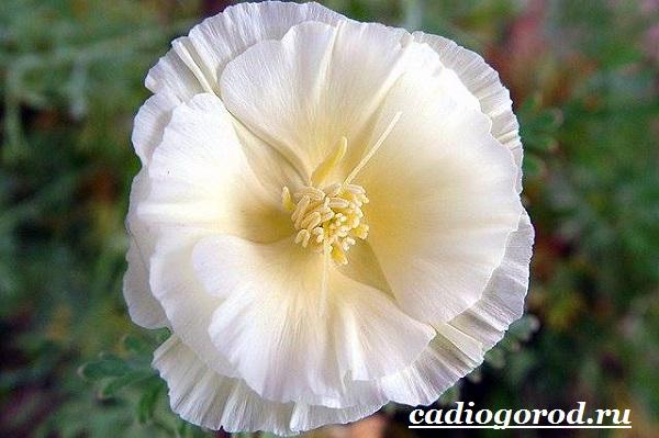 Эшшольция-цветы-Выращивание-эшшольции-Посадка-и-уход-за-эшшольцией-15