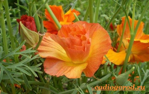 Эшшольция-цветы-Выращивание-эшшольции-Посадка-и-уход-за-эшшольцией-6
