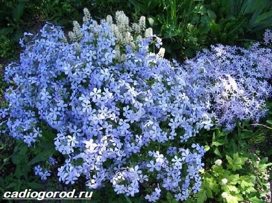 Флоксы-цветы-Выращивание-флоксов-Уход-за-флоксами-3