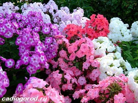 Флоксы-цветы-Выращивание-флоксов-Уход-за-флоксами-9