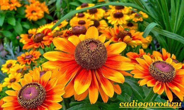 Гайлардия-цветок-Описание-особенности-виды-и-уход-за-гайлардией-12