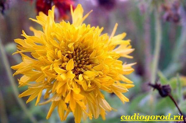 Гайлардия-цветок-Описание-особенности-виды-и-уход-за-гайлардией-20