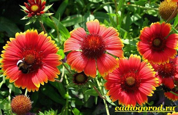 Гайлардия-цветок-Описание-особенности-виды-и-уход-за-гайлардией-7