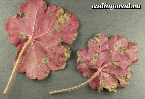 Гейхера-растение-Выращивание-гейхеры-Уход-за-гейхерой-10