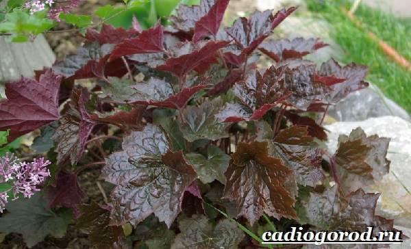 Гейхера-растение-Выращивание-гейхеры-Уход-за-гейхерой-13