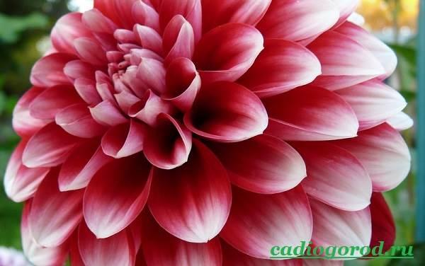 Георгины-цветы-Описание-особенности-виды-цена-и-уход-георгинами-20