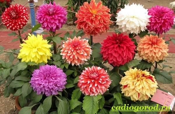 Георгины-цветы-Описание-особенности-виды-цена-и-уход-георгинами-25
