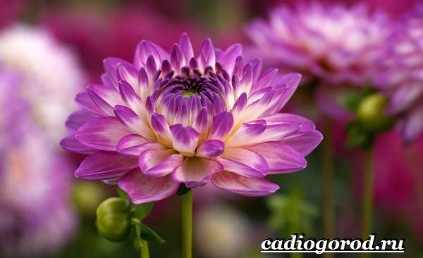 Георгины-цветы-Описание-особенности-виды-цена-и-уход-георгинами-42