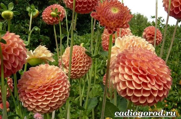 Георгины-цветы-Описание-особенности-виды-цена-и-уход-георгинами-44