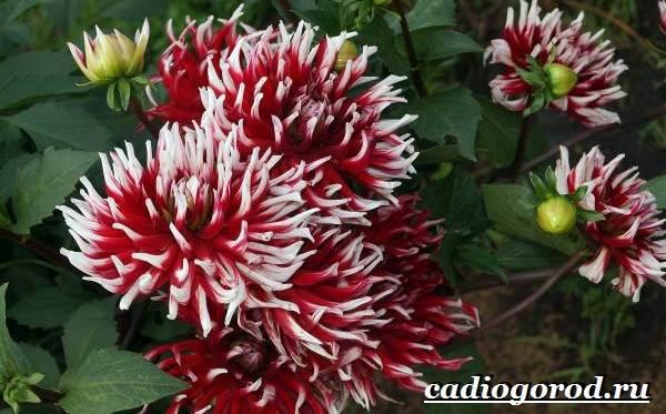 Георгины-цветы-Описание-особенности-виды-цена-и-уход-георгинами-45