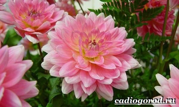 Георгины-цветы-Описание-особенности-виды-цена-и-уход-георгинами-48