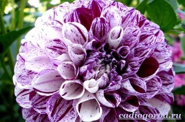 Георгины-цветы-Описание-особенности-виды-цена-и-уход-георгинами-7