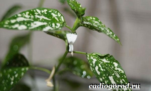 Гипоэстес цветок. Описание, особенности, виды и уход за гипоэстес-11