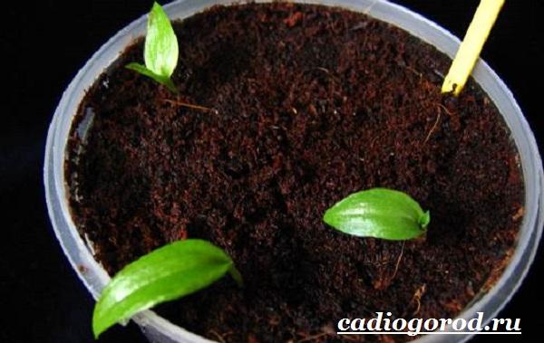 Глориоза-цветок-Описание-особенности-виды-и-уход-за-глориозой-11