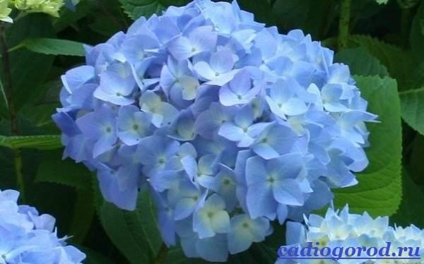 Гортензия-цветок-Выращивание-гортензии-Уход-за-гортензией-1