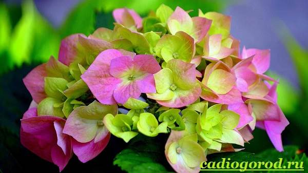 Гортензия-цветок-Выращивание-гортензии-Уход-за-гортензией-18