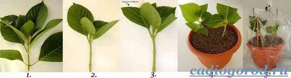 Гортензия-цветок-Выращивание-гортензии-Уход-за-гортензией-23