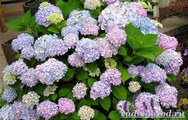 Гортензия-цветок-Выращивание-гортензии-Уход-за-гортензией-3