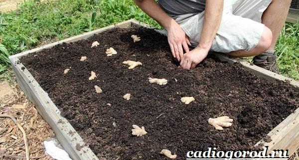 Имбирь-растение-Выращивание-имбиря-Уход-за-имбирём-14