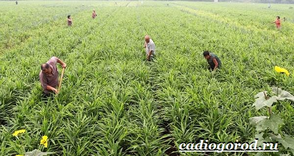 Имбирь-растение-Выращивание-имбиря-Уход-за-имбирём-2