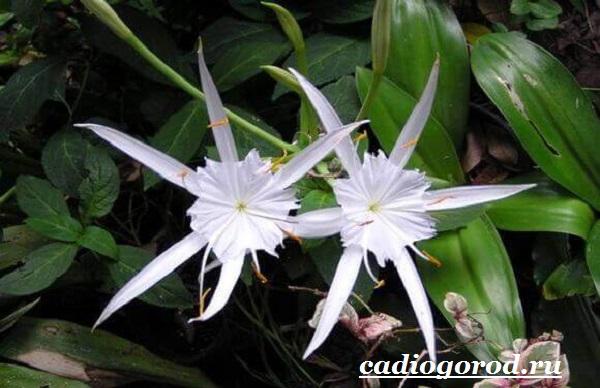 Исмена-цветок-Описание-особенности-виды-и-уход-за-исменой-10