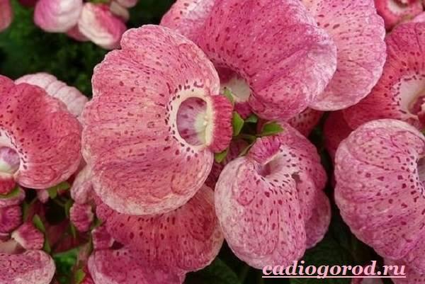 Кальцеолярия-цветок-Выращивание-кальцеолярии-Уход-за-кольцеолярией-20