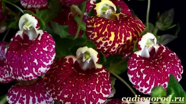 Кальцеолярия-цветок-Выращивание-кальцеолярии-Уход-за-кольцеолярией-23