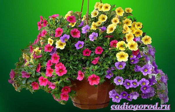 Калибрахоа-цветок-Описание-особенности-виды-и-уход-за-калибрахоа