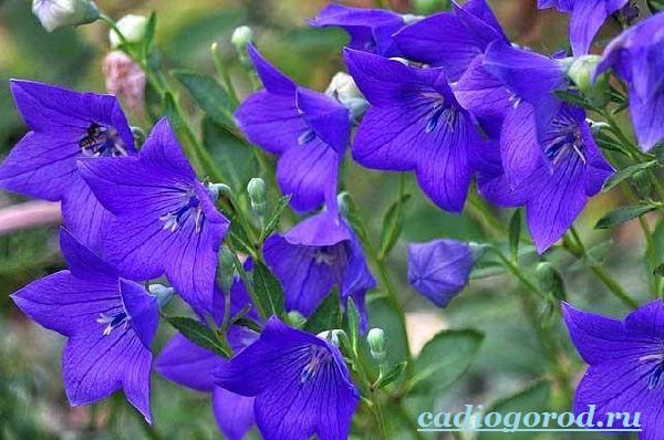 Кампанула-цветок-Описание-особенности-виды-и-уход-за-кампанулой-4