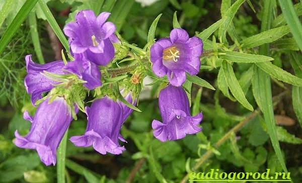 Колокольчики-цветы-Описание-виды-и-выращивание-колокольчиков-15