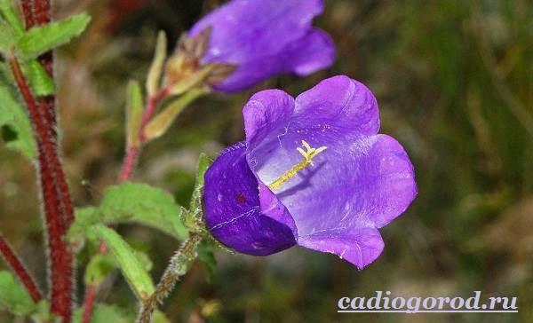 Колокольчики-цветы-Описание-виды-и-выращивание-колокольчиков-16