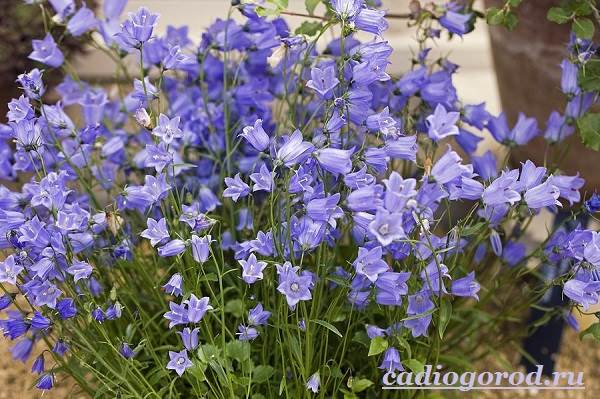 Колокольчики-цветы-Описание-виды-и-выращивание-колокольчиков-4