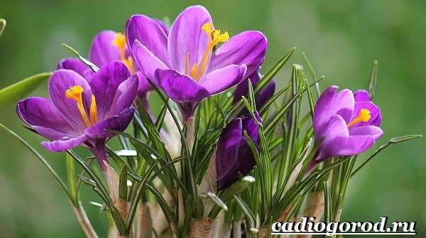 Крокус-цветок-Выращивание-крокуса-Уход-за-крокусом-1-1