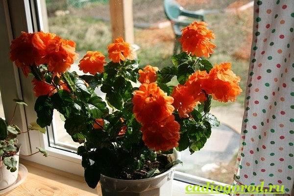 Кроссандра-цветок-Выращивание-кроссандры-Уход-за-кроссандрой-10
