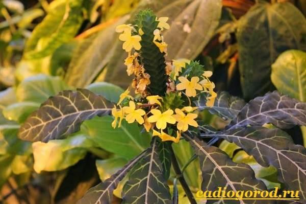 Кроссандра-цветок-Выращивание-кроссандры-Уход-за-кроссандрой-2