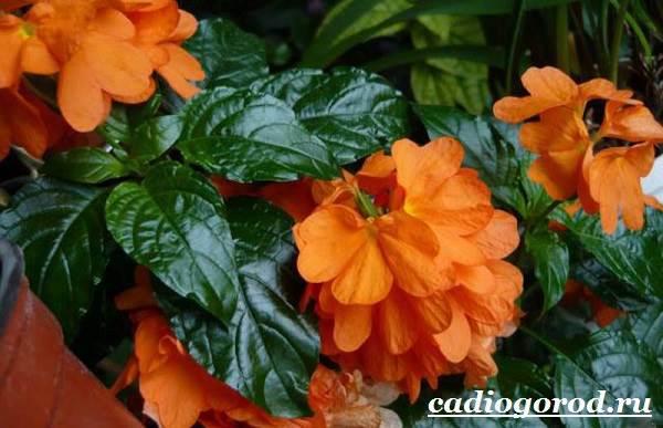 Кроссандра-цветок-Выращивание-кроссандры-Уход-за-кроссандрой-6