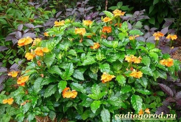 Кроссандра-цветок-Выращивание-кроссандры-Уход-за-кроссандрой-9